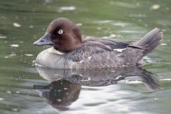 Beautiful duck swimming on the lake Stock Photography