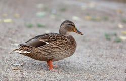 Beautiful duck walking in a park. Beautiful brown duck walking in a park Royalty Free Stock Photography