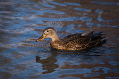 Beautiful duck. In the wild Royalty Free Stock Photo