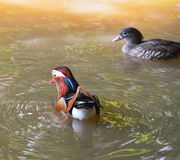 Beautiful duck Stock Photography