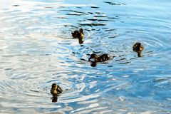 Beautiful ducklings on Galves lake coast. In the Trakai. Lithuania Royalty Free Stock Photos