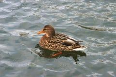 Beautiful ducks in cold water 12 Stock Photo