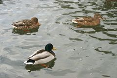 Beautiful ducks in cold water 20. Ducks swim in the winter in warm water and to get their food Royalty Free Stock Photo