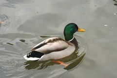 Beautiful ducks in cold water 22. Ducks swim in the winter in warm water and to get their food Stock Photo