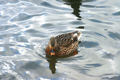 Beautiful ducks in cold water 24 Royalty Free Stock Image