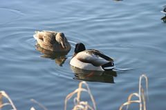 Beautiful ducks in cold water 27 Royalty Free Stock Images