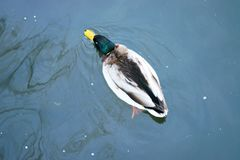 Beautiful ducks in cold water 28 Stock Image