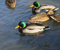 Beautiful ducks and drakes Royalty Free Stock Photography