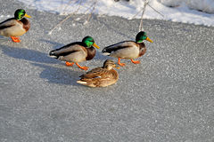 Beautiful ducks and drakes Royalty Free Stock Photos