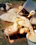 Beautiful ducks Stock Photography