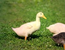 Beautiful ducks Royalty Free Stock Photography