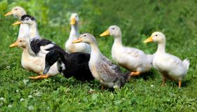 Beautiful ducks Stock Image