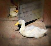 Beautiful ducks Royalty Free Stock Image