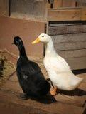 Beautiful ducks Stock Photography