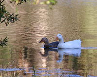 Beautiful ducks floating in calm waters. Two beautiful ducks floating in the calm pond waters with small ripples and light reflections Stock Image