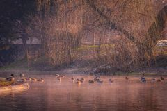 Beautiful ducks on the lake on a cold winter morning. With some haze on the water and some snow on the grass royalty free stock image