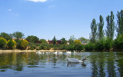 Beautiful ducks in the pond. 3 Stock Photo