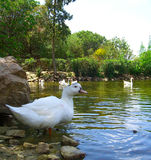 Beautiful ducks in the pond. 4 Royalty Free Stock Photography