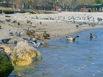 Beautiful ducks, seagulls, pigeons on the sea Stock Photography