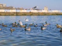 Beautiful ducks and seagulls on the sea Royalty Free Stock Photo