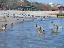 Beautiful ducks and seagulls on the sea Royalty Free Stock Photography