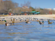Beautiful ducks and seagulls on the sea Stock Photography