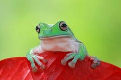 Tree frog, dumpy frog hide on red leaf. Beautiful dumpy frog hide on red leaf Stock Photo