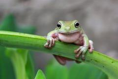 Tree frog, dumpy frog singing on branch. Beautiful dumpy frog singing on branch Royalty Free Stock Images