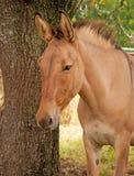 Beautiful dun mule Stock Images