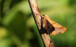 A pretty Dusky Thorn Moth Ennomos fuscantaria perching on a plant stem. Stock Images