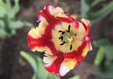 Beautiful Dutch colorful tulip Royalty Free Stock Photos