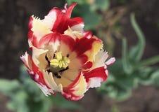 Beautiful Dutch colorful tulip Stock Photography