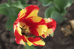 Beautiful Dutch colorful tulip Stock Photos