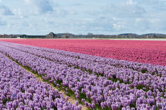 Beautiful Dutch hyacinth field Stock Photography