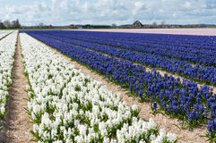 Beautiful Dutch hyacinth field Royalty Free Stock Photography