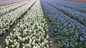 Beautiful Dutch Hyacinth Field Stock Photography