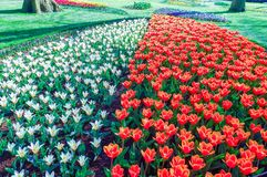 Dutch park with blossoming red white yellow and blue tulips royalty free stock images