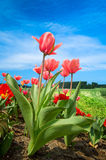 Beautiful dutch tulips stock photos