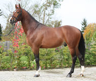 Beautiful dutch warmblood with perfect hair style Stock Photo