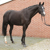 Beautiful dutch warmblood with perfect hair style Stock Image