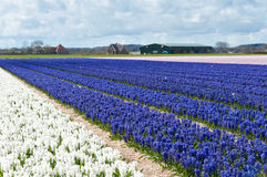 Beautiful Dutch white and blue hyacinth field Royalty Free Stock Photo