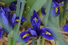 Dwarf Blue Iris from early spring stock images