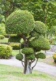 Beautiful dwarf tree in the garden. Royalty Free Stock Photo