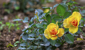 Beautiful dwarf yellow roses in garden Stock Photo