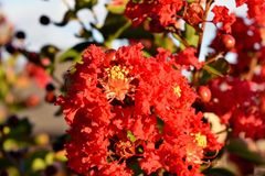 Dynamite Red Crape myrtle Tree,. Beautiful Dynamite Red Crape myrtle Tree. A very common tree variety in Oklahoma City stock image