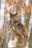 Beautiful Eagel owl Stock Images