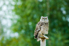 Beautiful Eagle Owl Stock Photo