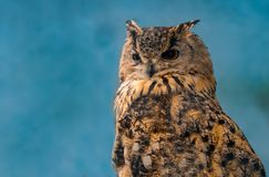 Beautiful eagle owl on blue background with copy space.  royalty free stock images