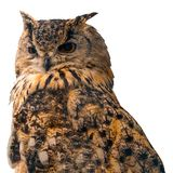 Beautiful eagle owl on blue background with copy space. Isolated on white background.  royalty free stock photos