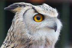 Beautiful eagle owl. Beautiful eagle owl at a sanctuary stock image